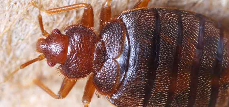 Close Up Picture Of A Bed Bug