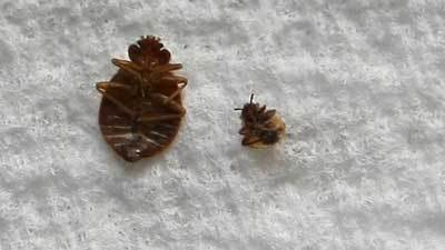 Picture Of Dead Adult And Bady Bed Bug