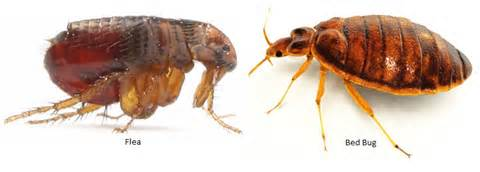 Flea VS Bed Bug Picture