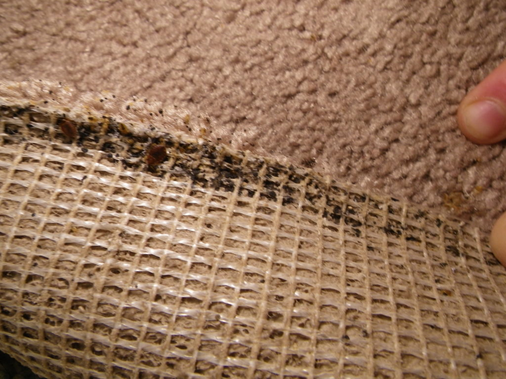 Picture Of Bed Bugs In Carpet