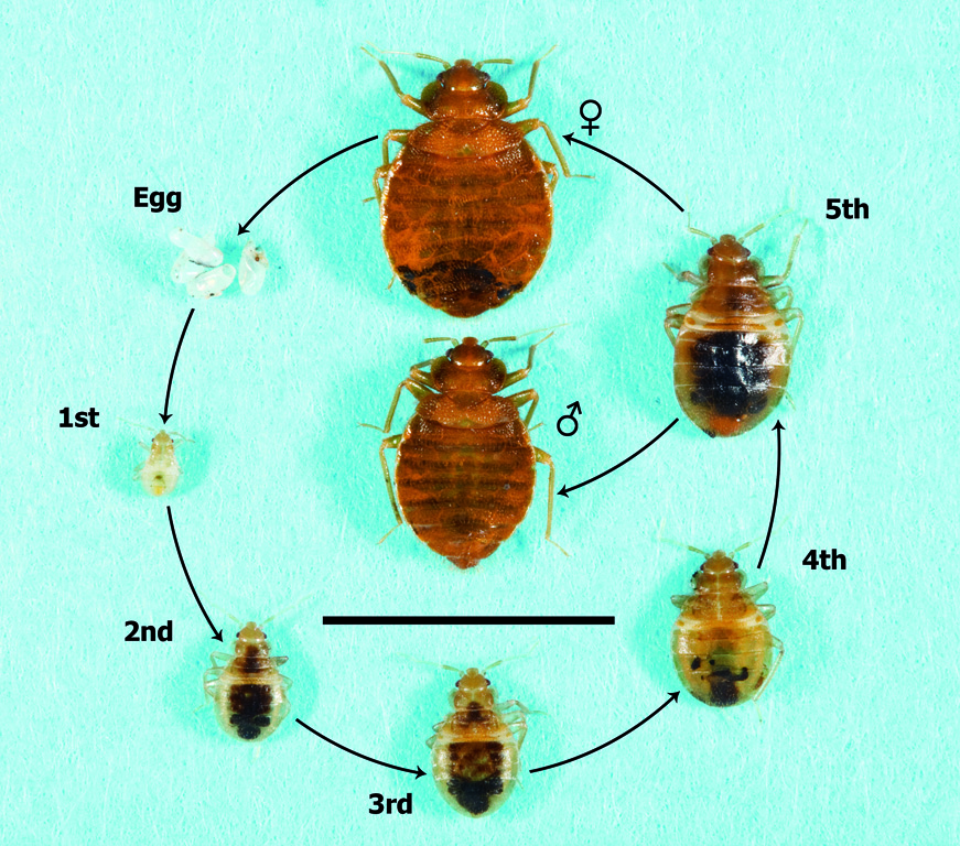 Picture Of Bed Bugs Actual Size