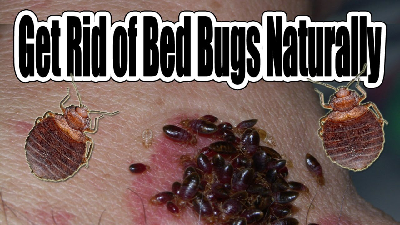 How To Kill Bed Bugs Naturally Without Chemical Control Bed Bug