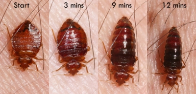 bed bugs identification appearance and life cycle