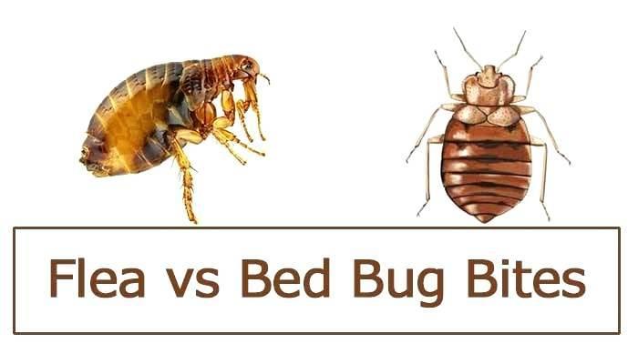 Bed Bug Bites Vs Flea Bites Control Bed Bug