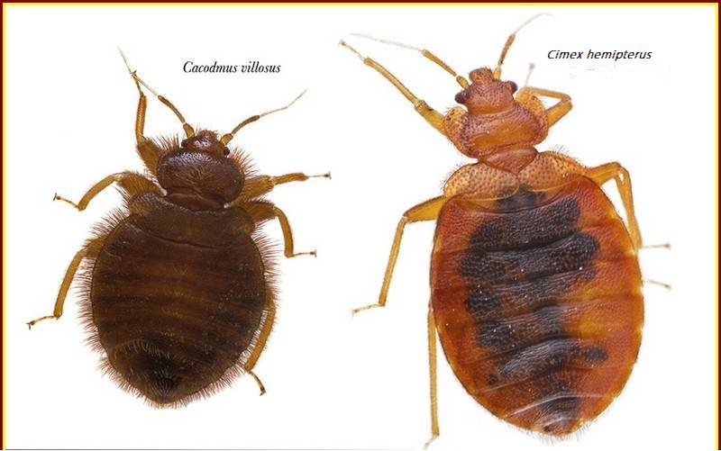 Picture Of Bugs That Look Like Bed Bugs
