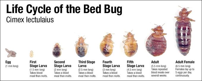 Bed Bugs Pictures What Do Bed Bugs Look Like Control Bed Bug